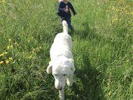 Hundeerlaubt.de Goldendoodle